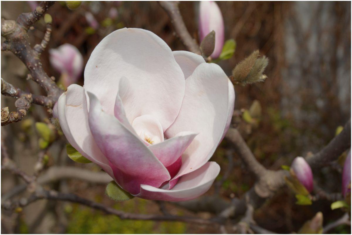magnolia2018.jpg