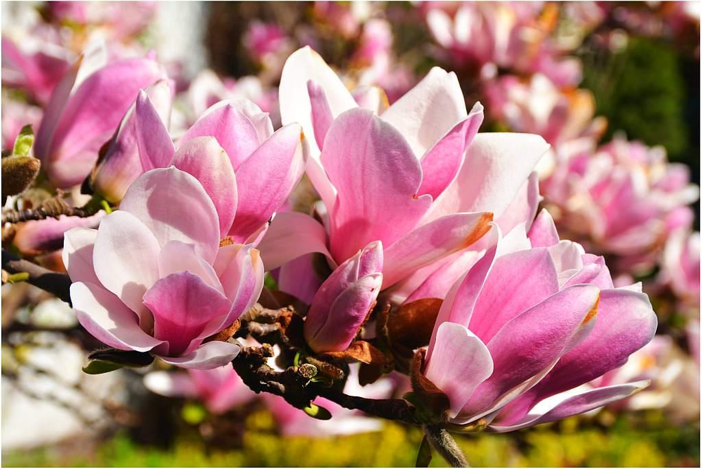 magnolia2019-1.jpg