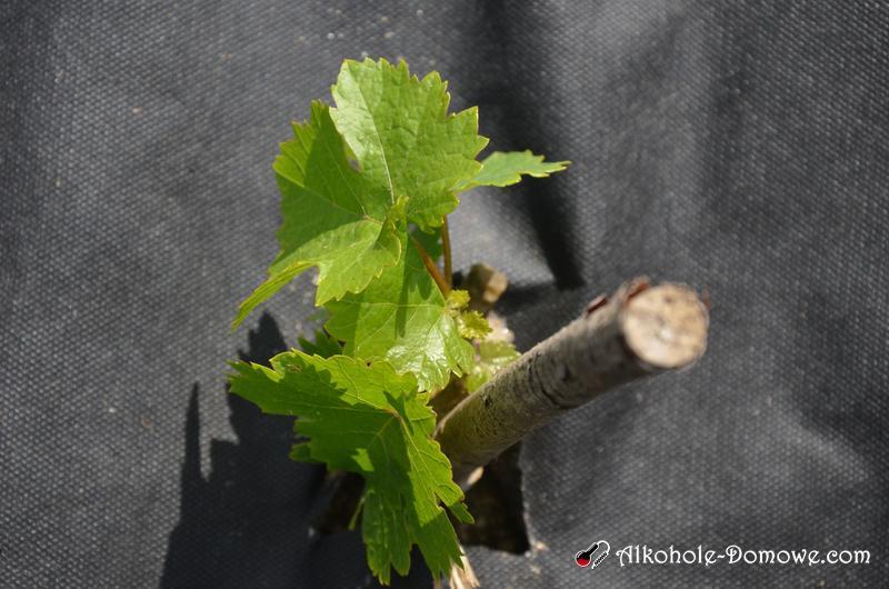 winorośle na wiosnę
