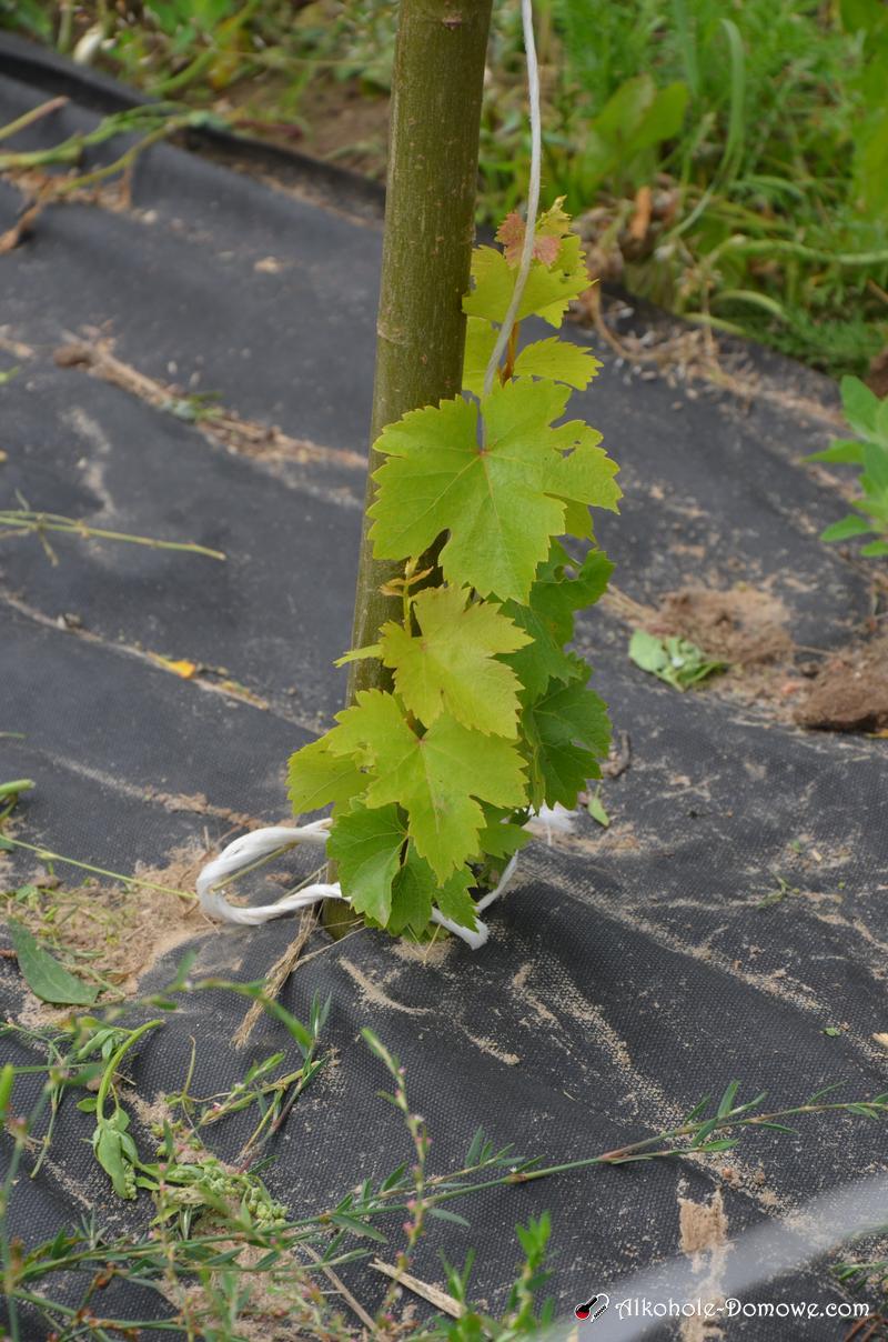 domowa winnica