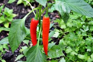 Nalewka chili-cytrynowa