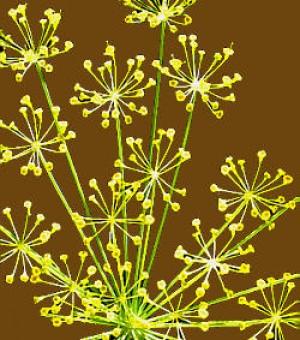 Nalewka na nasionach kopru
