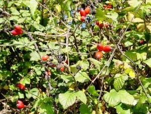 Nalewka na owocach dzikiej róży