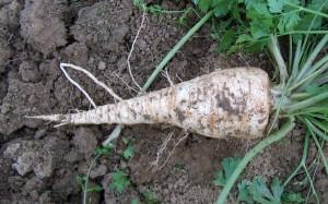 Nalewka z korzenia pietruszki