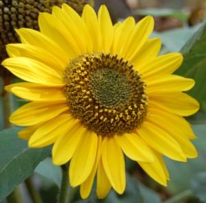 Nalewka z kwiatów słonecznika
