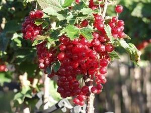 Wino z porzeczek białych lub czerwonych