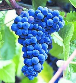 Wino z winogron - przepis ogólny