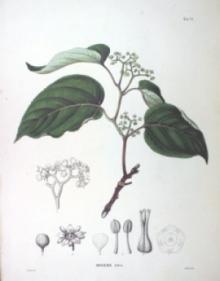 Howenia słodka - zioło które neutralizuje alkohol