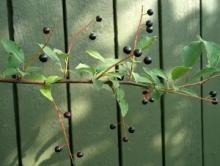 Nalewka na owocach czeremchy - Czeremchówka