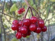 Nalewka na owocach kaliny - Kalinówka
