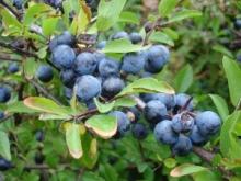 Nalewka na owocach tarniny - Tarninówka