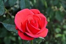 Nalewka na płatkach różanych