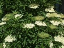 Nalewka z kwiatów czarnego bzu