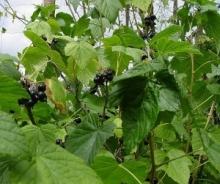 Nalewka z liści czarnej porzeczki